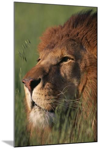 Lion in Grass-DLILLC-Mounted Photographic Print