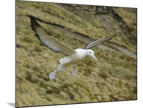 Southern Royal Albatross-DLILLC-Mounted Photographic Print
