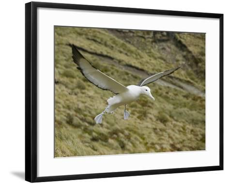 Southern Royal Albatross-DLILLC-Framed Art Print