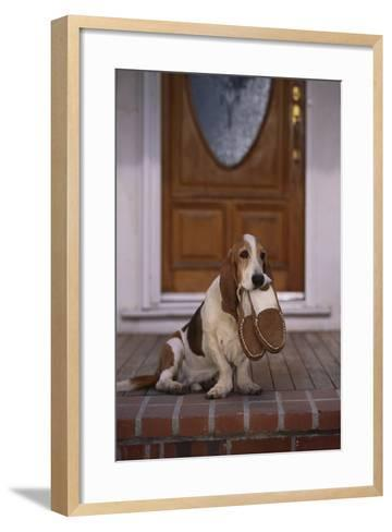 Basset Hound Waiting with Owner's Slippers-DLILLC-Framed Art Print