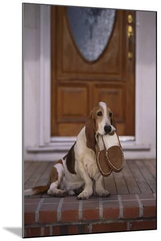 Basset Hound Waiting with Owner's Slippers-DLILLC-Mounted Photographic Print