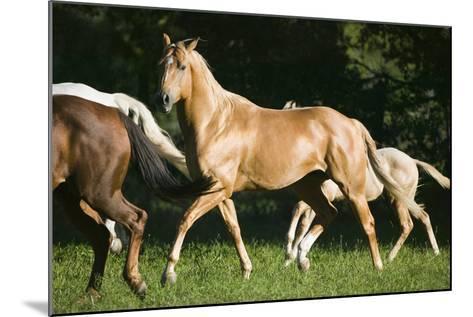 Palomino Stallion-DLILLC-Mounted Photographic Print