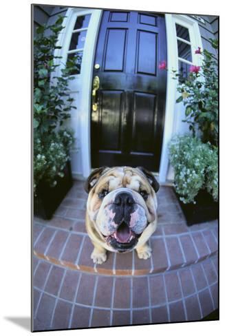 English Bulldog-DLILLC-Mounted Photographic Print