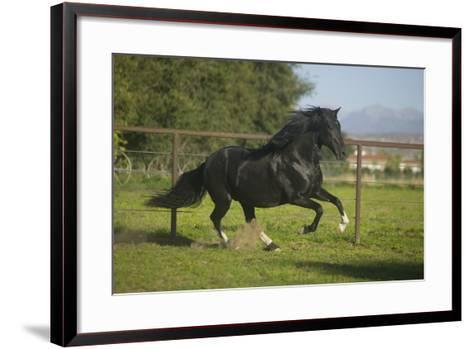 Peruvian Paso Stallion-DLILLC-Framed Art Print
