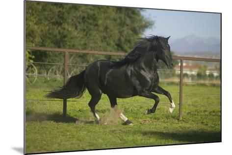 Peruvian Paso Stallion-DLILLC-Mounted Photographic Print