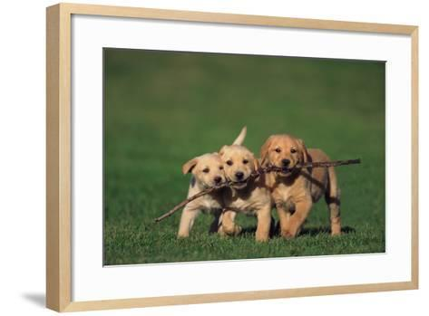 Yellow Lab Puppies Playing with Stick-DLILLC-Framed Art Print