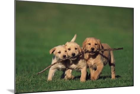 Yellow Lab Puppies Playing with Stick-DLILLC-Mounted Photographic Print