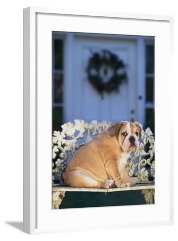 English Bulldog on a Garden Bench-DLILLC-Framed Art Print