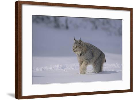 Canada Lynx Walking in Snow-DLILLC-Framed Art Print