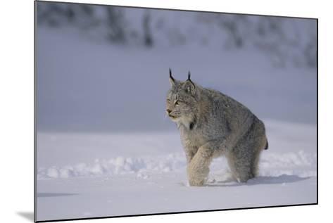 Canada Lynx Walking in Snow-DLILLC-Mounted Photographic Print