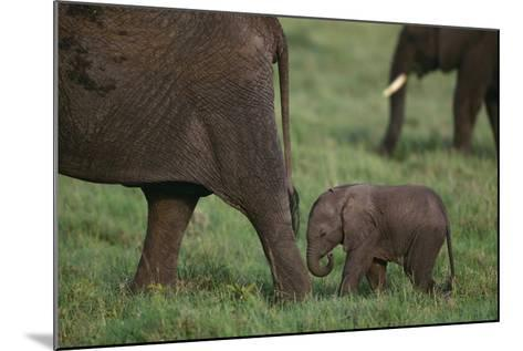 Tiny Elephant following Large Adult-DLILLC-Mounted Photographic Print