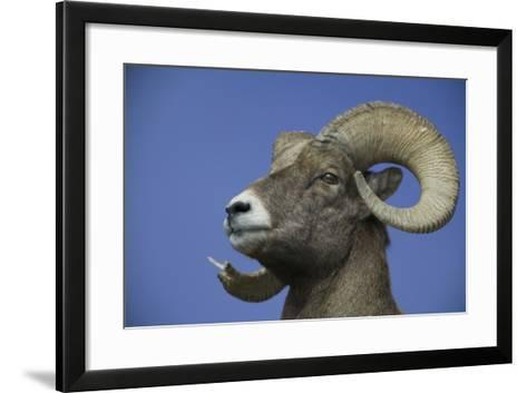 American Bighorn Sheep-DLILLC-Framed Art Print