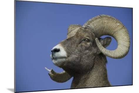 American Bighorn Sheep-DLILLC-Mounted Photographic Print