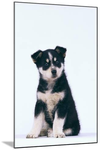Husky Puppy-DLILLC-Mounted Photographic Print