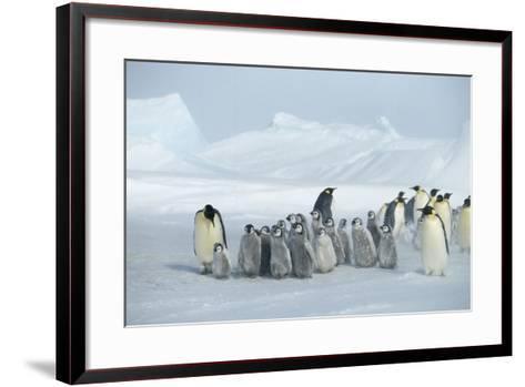 Emperor Penguins on Ice-DLILLC-Framed Art Print