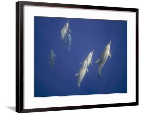 Spinner Dolphins-DLILLC-Framed Art Print
