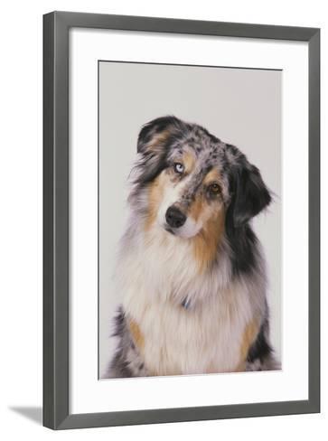 Australian Shepard with Different Color Eyes-DLILLC-Framed Art Print