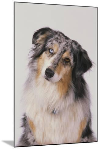 Australian Shepard with Different Color Eyes-DLILLC-Mounted Photographic Print
