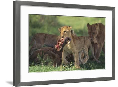 Young Lion Carrying Warthog Head-DLILLC-Framed Art Print