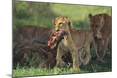 Young Lion Carrying Warthog Head-DLILLC-Mounted Photographic Print