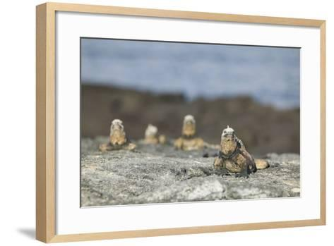 Marine Iguanas Relaxing on a Rock-DLILLC-Framed Art Print