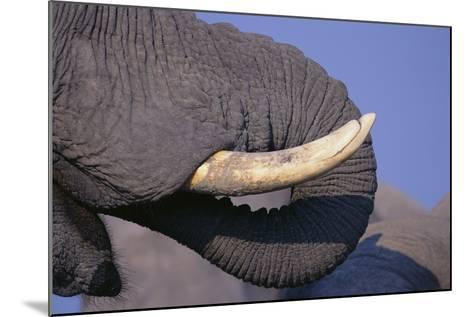 African Elephant Trunk and Tusk-DLILLC-Mounted Photographic Print