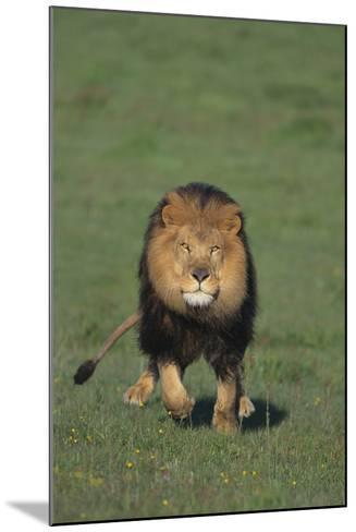 Lion Running in Field-DLILLC-Mounted Photographic Print