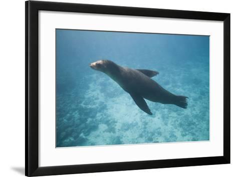 Sea Lion in the Ocean-DLILLC-Framed Art Print