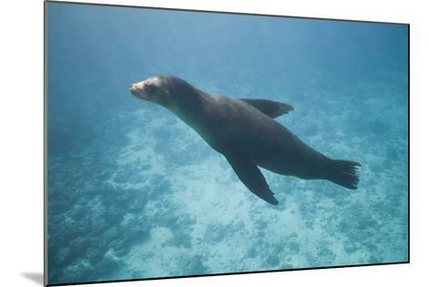 Sea Lion in the Ocean-DLILLC-Mounted Photographic Print