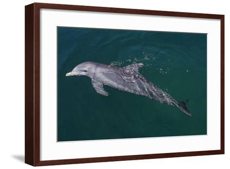 Bottlenosed Dolphin Swimming-DLILLC-Framed Art Print