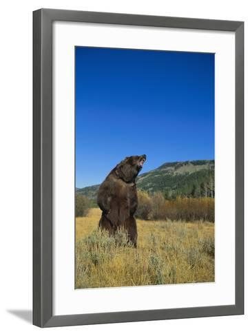 Grizzly Roaring in Mountain Meadow-DLILLC-Framed Art Print