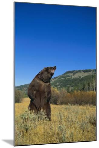 Grizzly Roaring in Mountain Meadow-DLILLC-Mounted Photographic Print