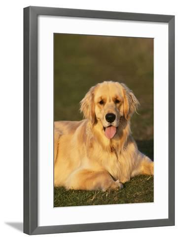 Golden Retriever Relaxing in the Grass-DLILLC-Framed Art Print