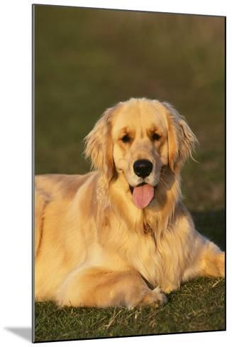 Golden Retriever Relaxing in the Grass-DLILLC-Mounted Photographic Print