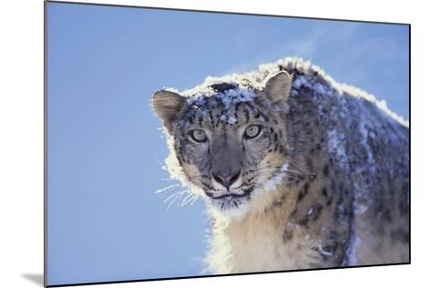 Snow Leopard-DLILLC-Mounted Photographic Print