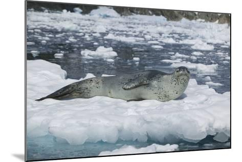 Leopard Seal Looking Up-DLILLC-Mounted Photographic Print