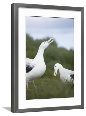 Wandering Albatross Performing Courtship Display-DLILLC-Framed Art Print