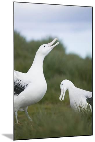Wandering Albatross Performing Courtship Display-DLILLC-Mounted Photographic Print