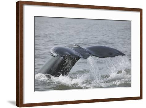Powerful Tail of a Humpback Whale-DLILLC-Framed Art Print