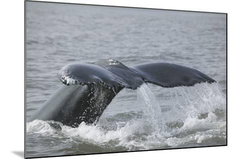 Powerful Tail of a Humpback Whale-DLILLC-Mounted Photographic Print