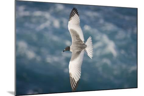 Swallow-Tailed Gull-DLILLC-Mounted Photographic Print