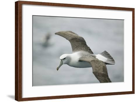 White-Capped, or Shy Albatross, in Flight-DLILLC-Framed Art Print