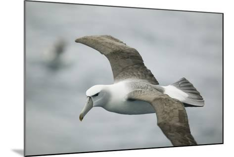 White-Capped, or Shy Albatross, in Flight-DLILLC-Mounted Photographic Print