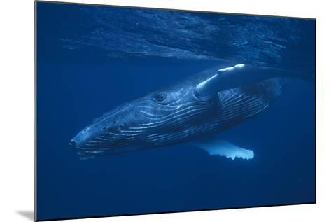 Humpback Whale Swimming-DLILLC-Mounted Photographic Print