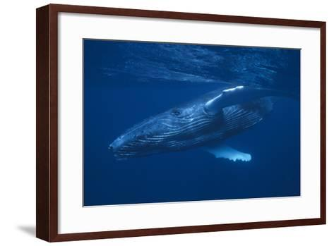 Humpback Whale Swimming-DLILLC-Framed Art Print