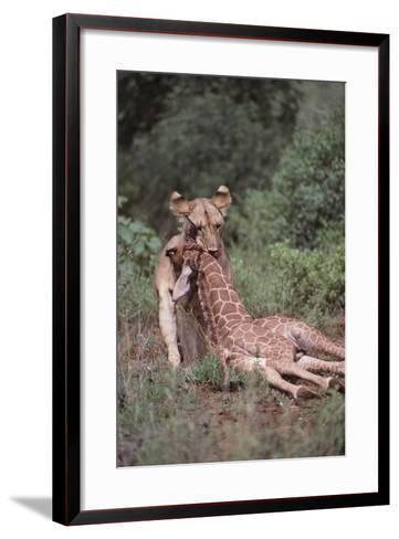 Lion Dragging Dead Giraffe Calf-DLILLC-Framed Art Print