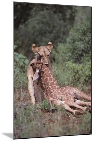 Lion Dragging Dead Giraffe Calf-DLILLC-Mounted Photographic Print