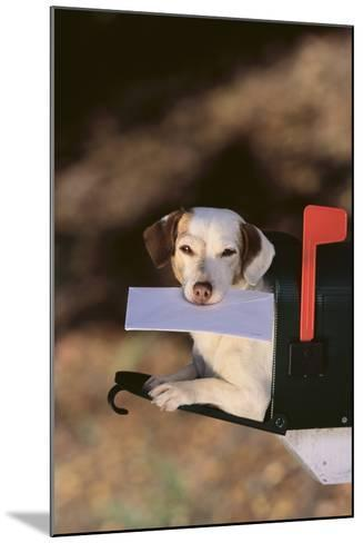 Jack Russell Terrier Fetching the Mail-DLILLC-Mounted Photographic Print