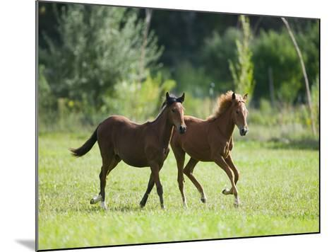Pair of Peruvian Paso Colts-DLILLC-Mounted Photographic Print