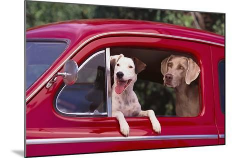 Jack Russel and Weimaraner Sitting in a Car-DLILLC-Mounted Photographic Print